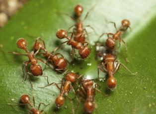 Fire-Ants-1024x750.jpg