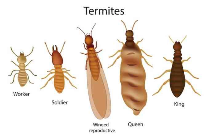how-to-identify-termites