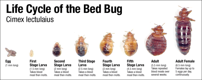 bedbugs_lifecycle.png